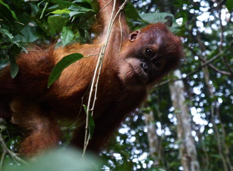 Blusukan ke hutan dan ketemu orangutan imut ini. Coba deh salaman lansung! Heartwarming! TN Gn Leuser, 2016.